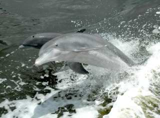 Dolphins - Fort Myers area Florida