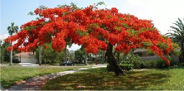 Royal Poinciana - McGregor Blvd. Fort Myers FL